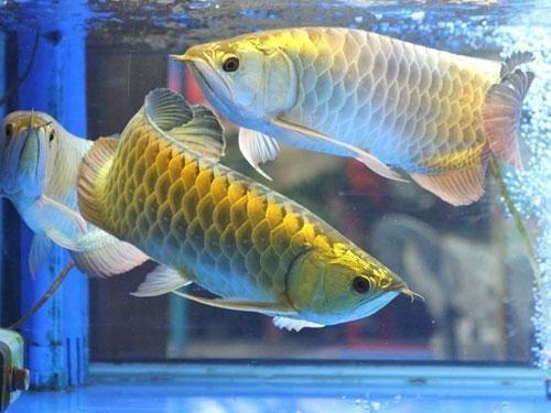 如何让龙鱼安然过冬?冬季养龙鱼需要注意什么